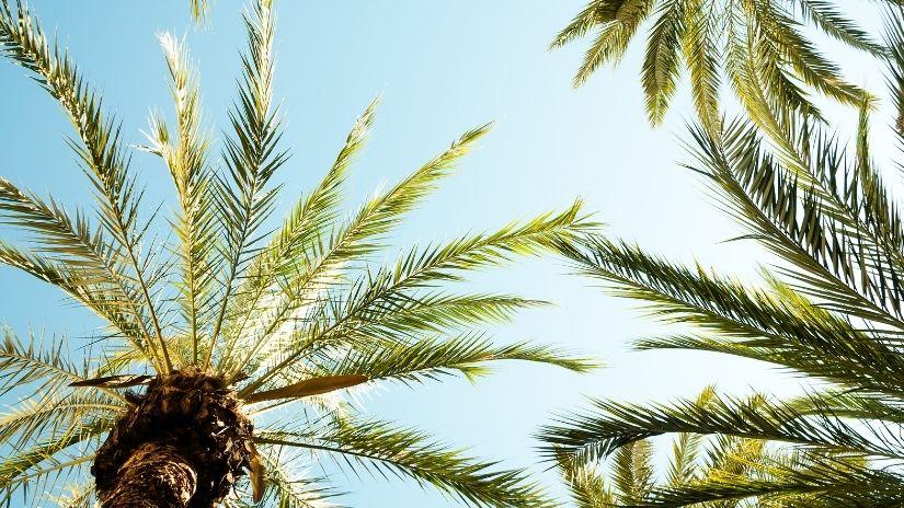 Palmeira Fênix | westwing.com.br