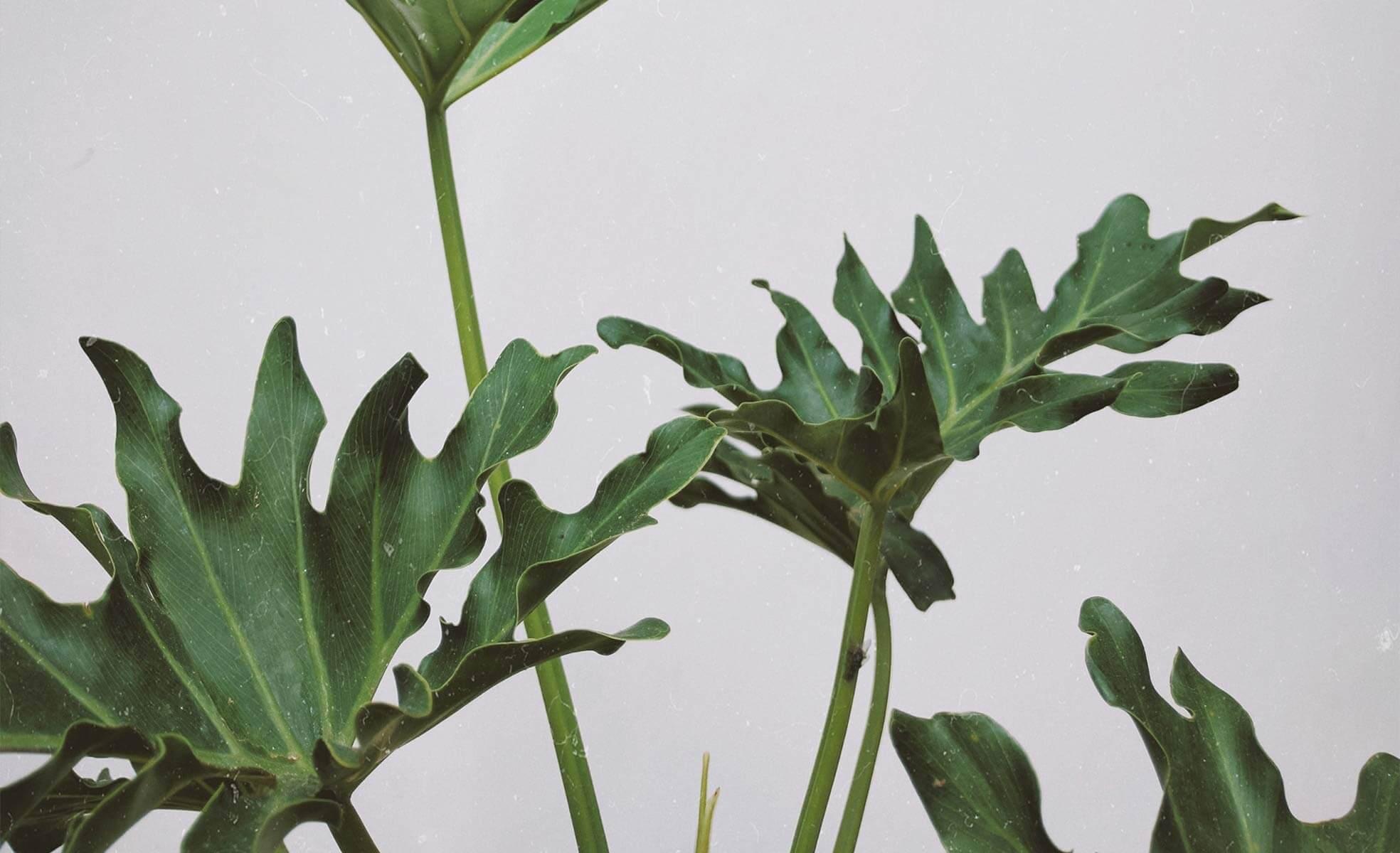 Xanadu | Como cuidar das plantas | westwing.com.br